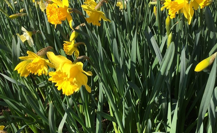 Golden daffodils in Spring