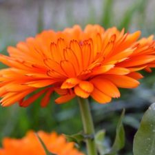 Calendula in my Dye Garden